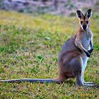 Wallaby Watching by Bami