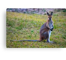 Wallaby Watching Canvas Print
