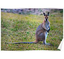 Wallaby Watching Poster