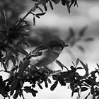 Berries in black and white by Susannah Kotyk