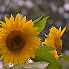 summer sunflowers by Nancy Rohrig