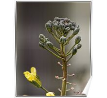 Broccoli Flower Pods Poster