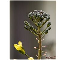 Broccoli Flower Pods Photographic Print