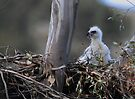Wedge-tailed Eagle (Aquila audax) in  nest. by Donovan Wilson