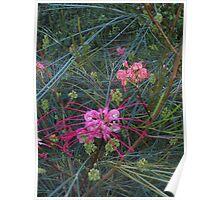 Pink Grevillea at Maranoa Gardens Poster