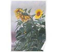 Sunflowers In Morning Fog Poster