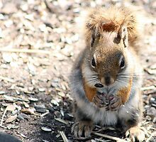 Red Squirrel Eating Seeds by rhamm