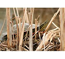 Painted Turtle Sunning Itself in Reeds Photographic Print