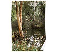 Eucalyptus at Kennington Resevoir By Lorraine McCarthy Poster
