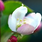 Apple Blossom by Aileen David