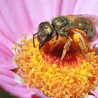Sweat Bee - Halictidae by Rina Greeff