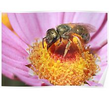 Sweat Bee - Halictidae Poster