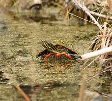 Algae Covered Painted Turtle by rhamm
