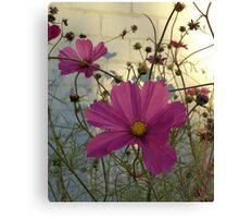 Cosmos - End of Season (2) Canvas Print