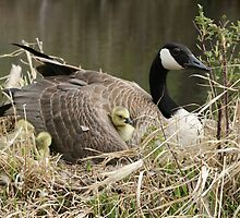 Canada Goose with Gosling Under a Wing by rhamm