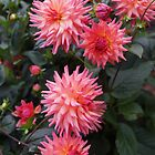 Pinkish Dahlias by Loisb