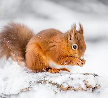 Red Squirrel searching for food by MichaelConrad