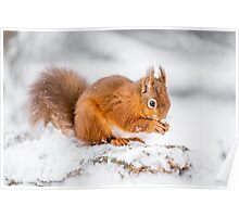 Red Squirrel searching for food Poster