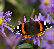 Red Admiral (Butterfly) by wjohnd