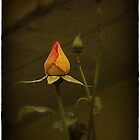 Single Rose by carolhynes