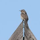 Wryneck by Grandalf
