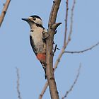 Syrian woodpecker by Grandalf