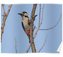 Syrian woodpecker Poster