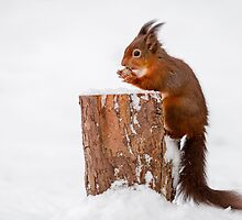 Red squirrel gathering food for Winter by MichaelConrad