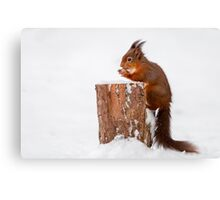 Red squirrel gathering food for Winter Canvas Print