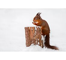 Red squirrel gathering food for Winter Photographic Print
