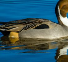 Drake Pintail Duck Sticker
