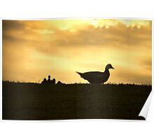 Momma Muscovy Duck and Baby Ducklings at Sunrise Poster