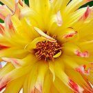 Cactus Dahlia by Orla Cahill Photography
