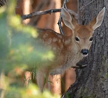 Portrait of an Olympic Fawn by DWMMPhotography