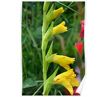 Gladioli Buds in Yellow Poster