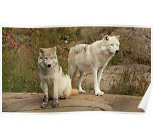 Arctic Wolves - Parc Omega, Quebec Poster