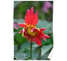 Dahlia Flowering Poster