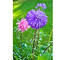 A Lilac Aster Photographic Print