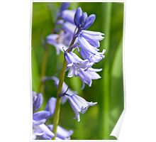 Bluebells in Spring 2 Poster