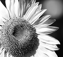 lonly sunflower by Ryan Dronsfield