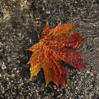 Autumn Colors and Playful Sunlight Patterns - Maple Leaf by Georgia Mizuleva