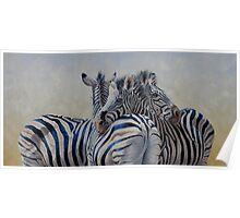 360 Degree Zebras Poster