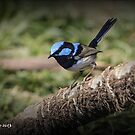 Fairy Wren by bekyimage