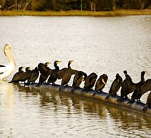 pelican and the birds  by Petecullin22