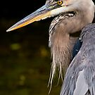 Great Blue Heron 2 by Michael Cummings