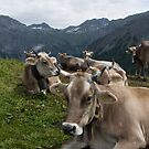 Cows in the Mountains, Arosa, Switzerland by palmerphoto