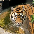 Sumatran Tiger and Cub by ten2eight