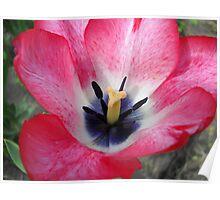 Tulip Macro # 4 Poster