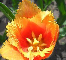 Tulip Macro # 6 by Vitta