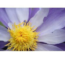Purple Lilly Photographic Print